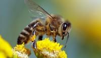 Bal Arısı Göğüs Kanseri Hücrelerini Ortadan Kaldırıyor